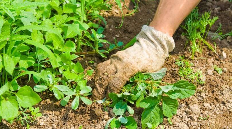 Removing Weeds By Hand