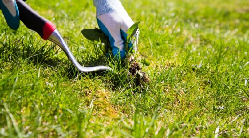 Removing Weeds with gardening tool