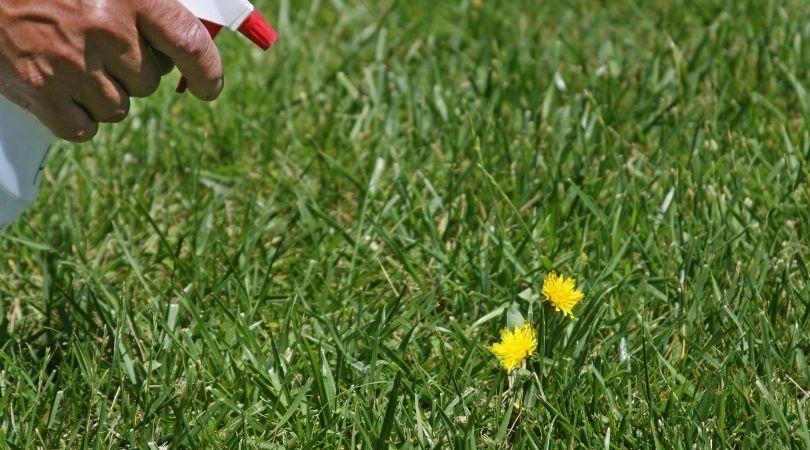 Spraying some vinegar on weeds